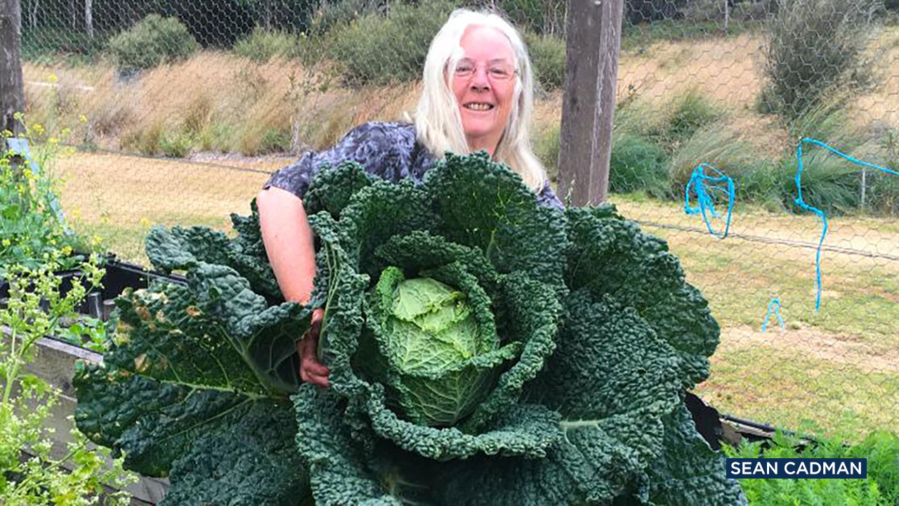 A woman in Australia is proudly showing off an impressive cabbage that is almost as big as a person.