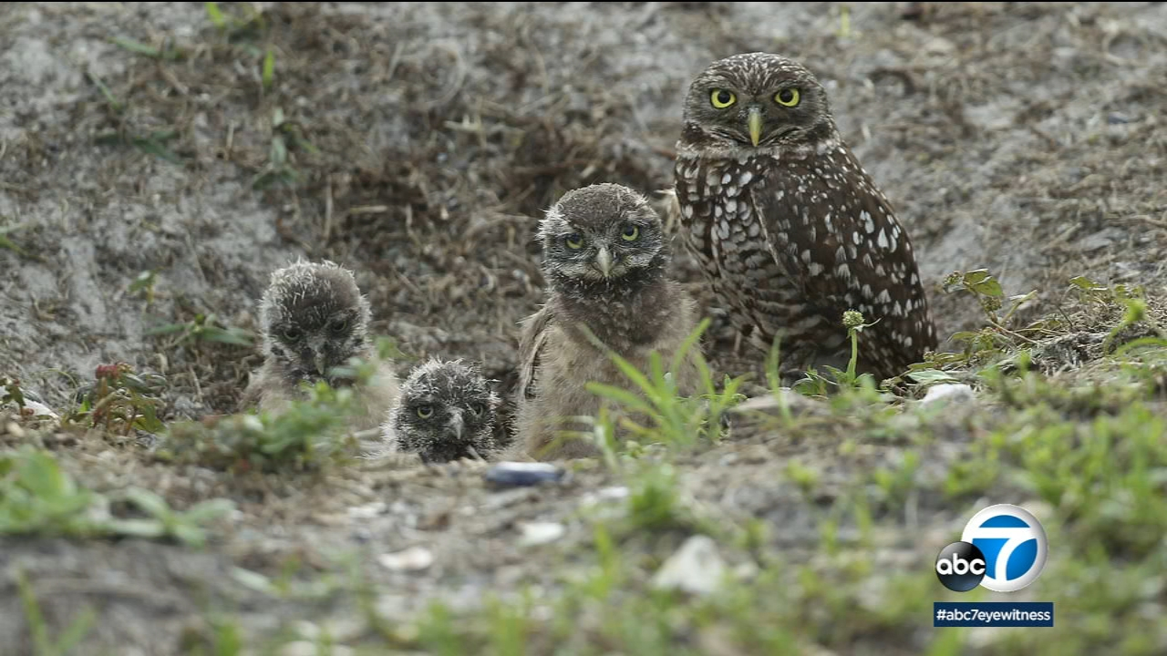 In this May 2, 2012 file photo, a mature burrowing owl and three young chicks sit at the entrance to their nest in Brian Piccalo Park in Pembroke Pines, Fla.