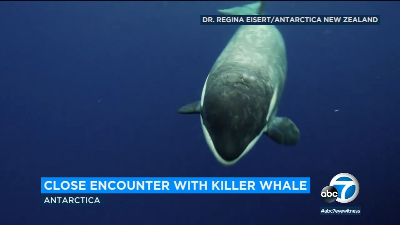 A scientist had a very close call with a killer whale.