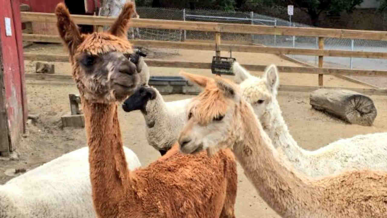 Three alpacas are seen at Loma Vista Farm in Vallejo, Calif. in this undated image.