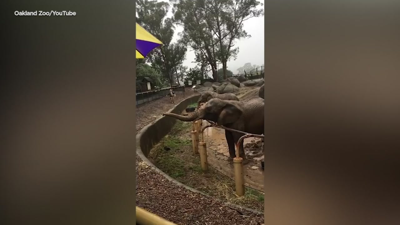 Elephants at the Oakland Zoo took advantage of the wet weather to play in the mud.