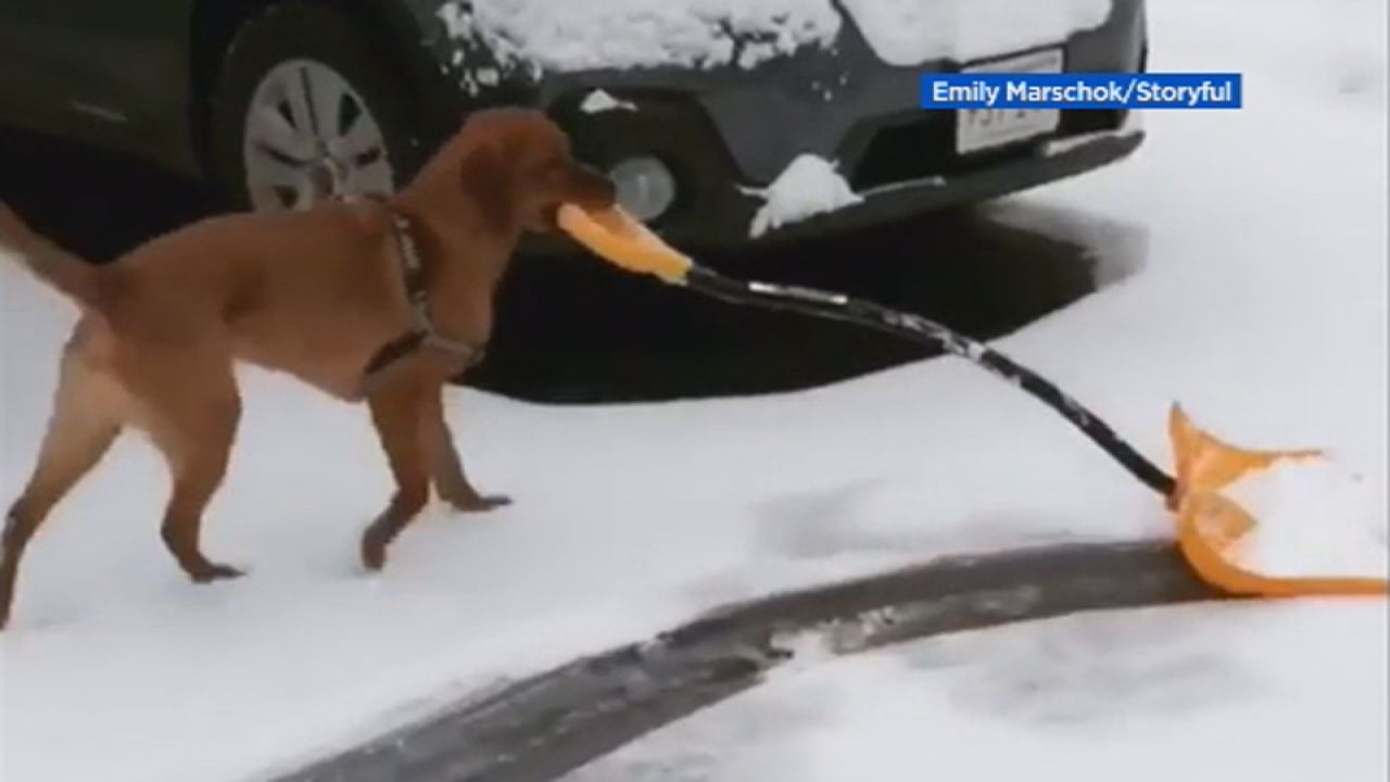 This image shows Rossi the dog shoveling snow in the Boston area on Feb. 18.