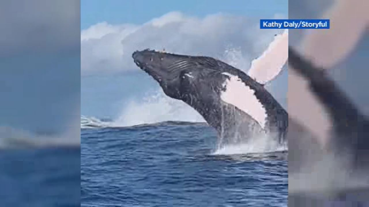 This image shows a humpback whale breaching off the coast of Kailua Bay in Hawaii on Feb.17.