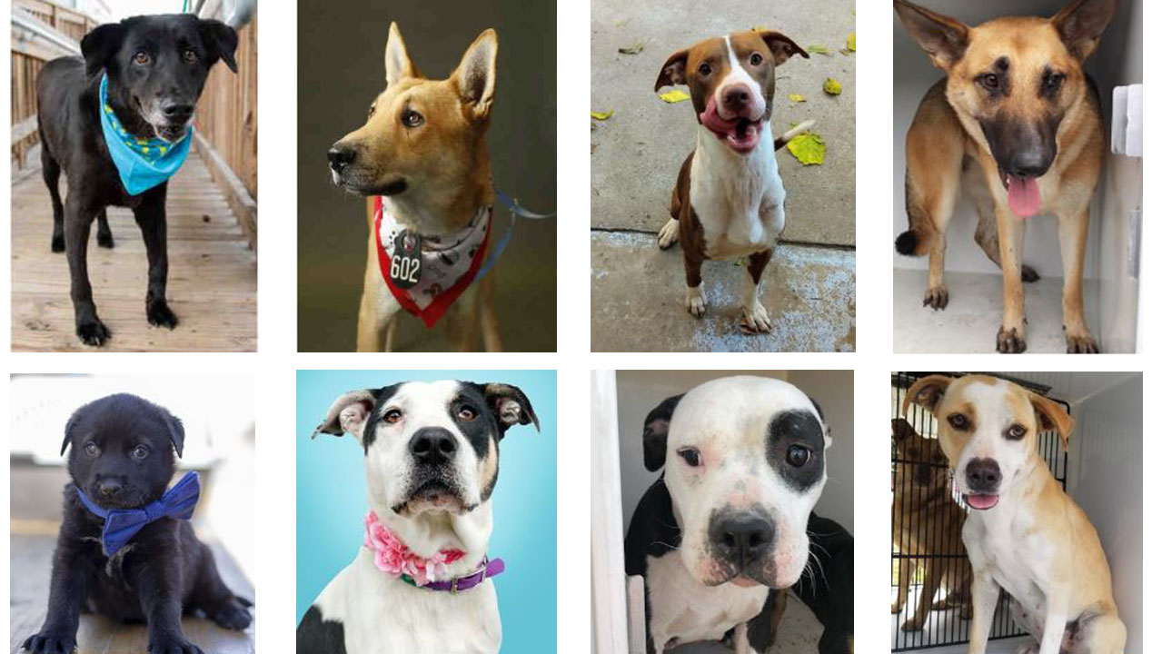 Adopt dogs with 'broken hearts' this Valentine's month