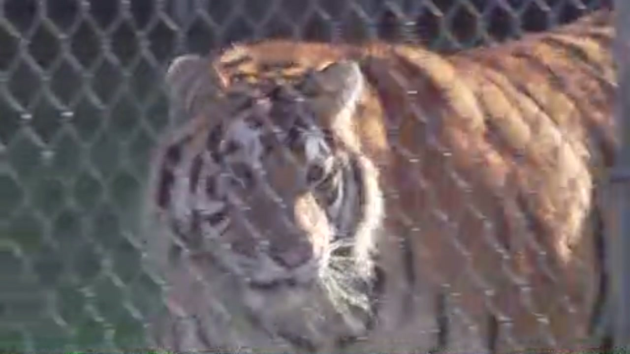 Veterinarians say the tiger had never touched grass before.