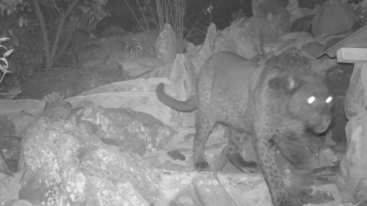 Rare black leopard caught on camera for first time in 110 years