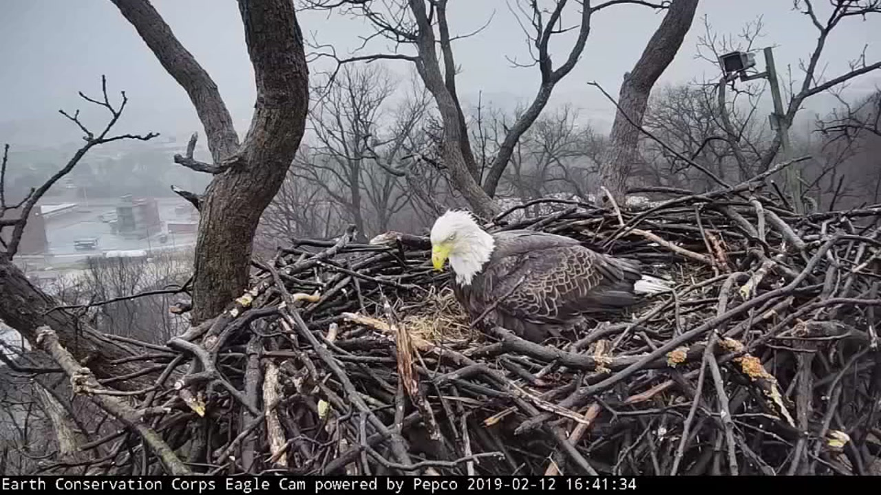 New bald eagle breaks up love bird couple on Valentines Day