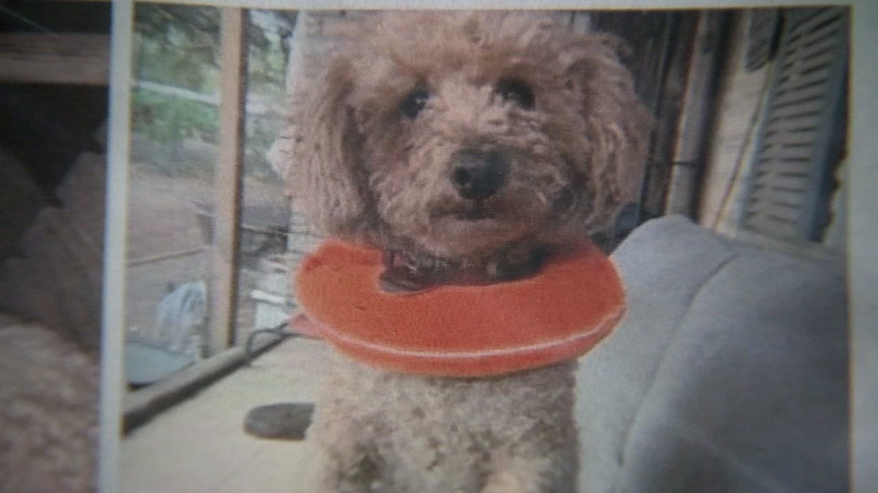 Cheeto has been missing for over a week, and now a family is hoping their unique reward will help bring their beloved poodle home.