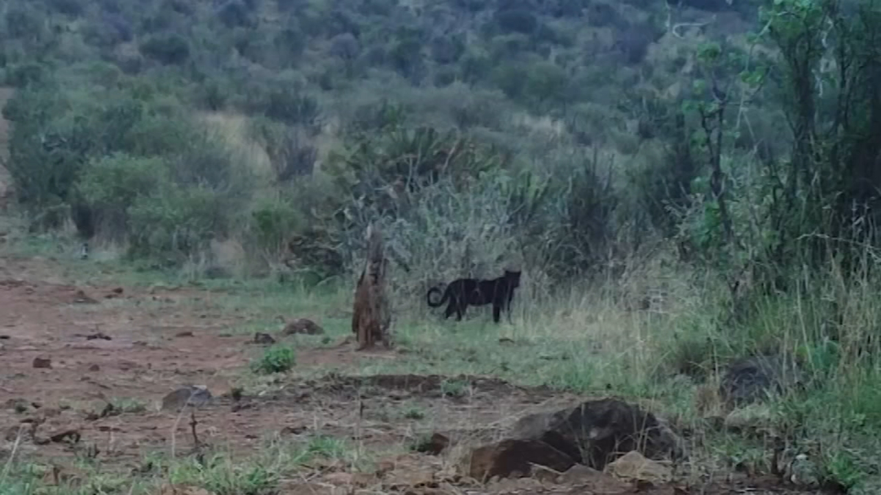 Turns out, the mythical African black leopard really does exist.