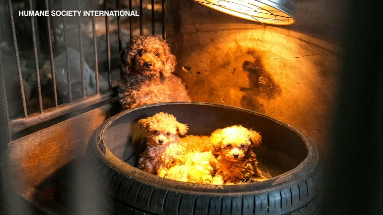 An 18-wheeler backed into the driveway of the Elmhurst Animal Care Center with a special delivery: More than 60 dogs rescued from a dog meat farm and puppy mill  in South Korea.