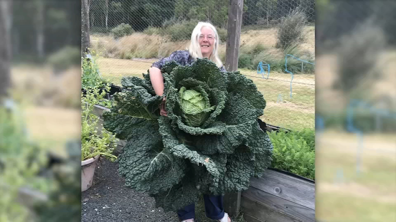 Australian couple grows giant cabbage. Gray Hall reports during Action News at 10 a.m. on February 17, 2019.