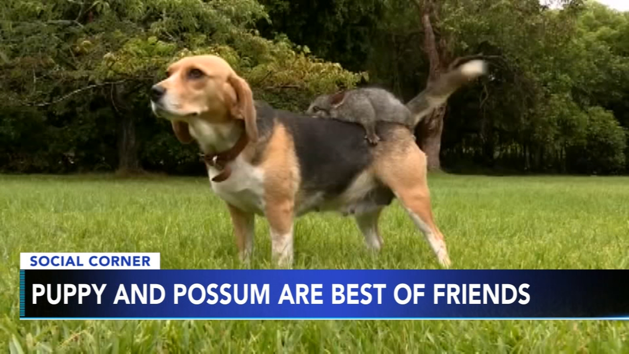 Puppy and possum become best of friends. Nydia Han reports during Action News at 10 a.m. on February 17, 2019.