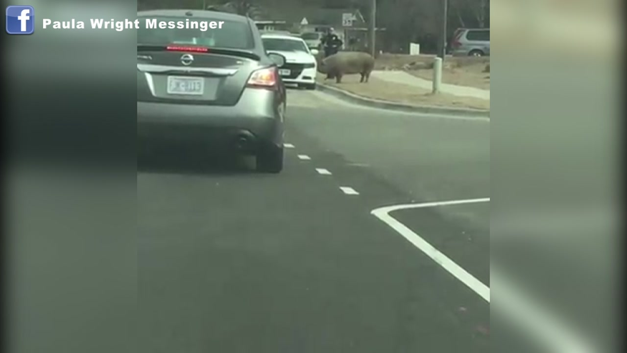 A pig in Fuquay-Varina is hogging the spotlight on social media after it was seen running around and blocking traffic on Sunday.
