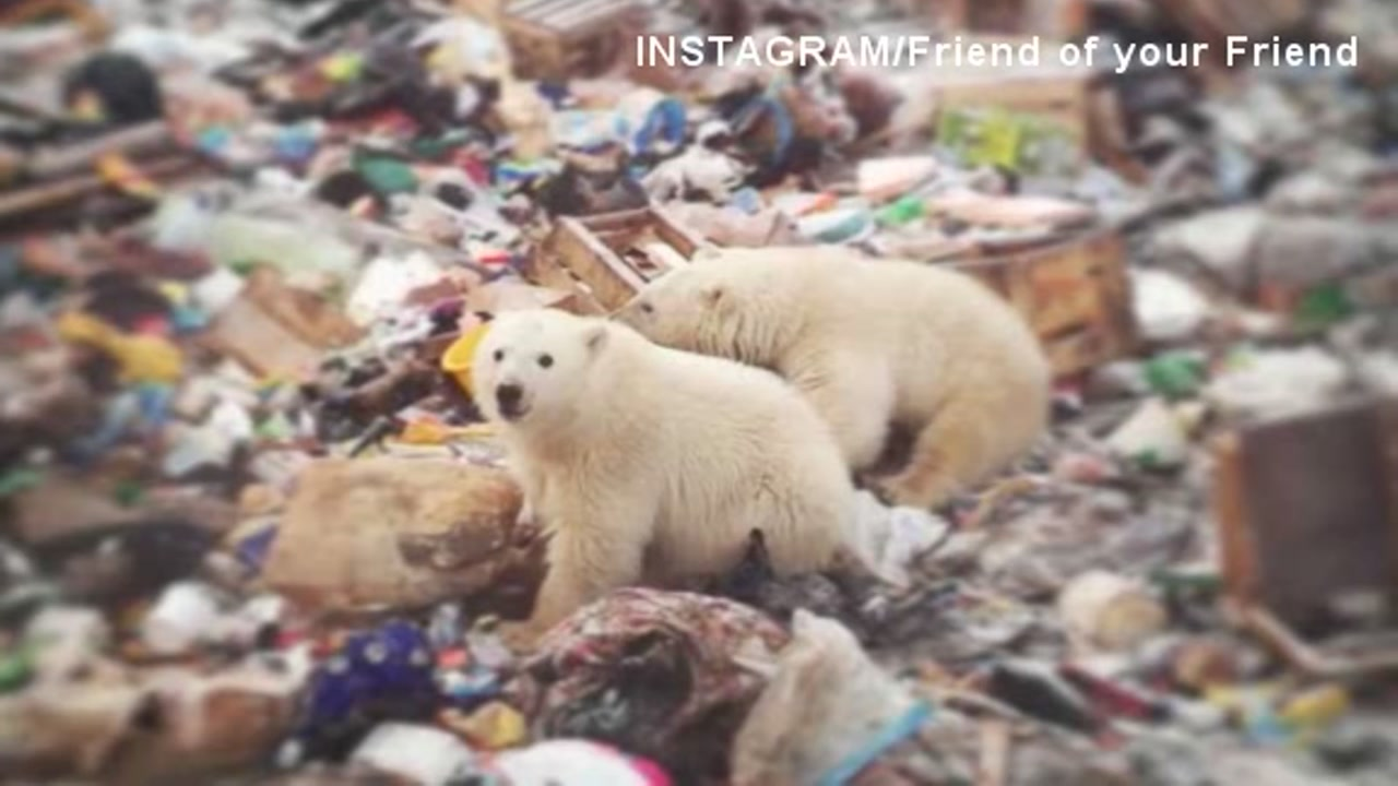 A state of emergency was declared after polar bears invaded residential areas in a town off Russias arctic coast.
